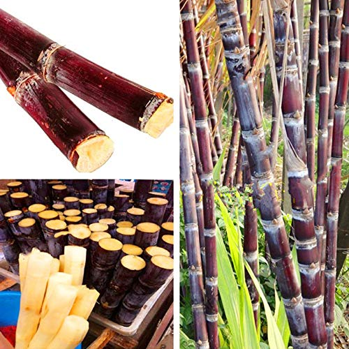 FATO. Egrow 100PCS / Packung Sugarcane Samen Sukkulenten Zuckerrohr Bonsai Köstliche Gemüse und Obst Gartenpflanze
