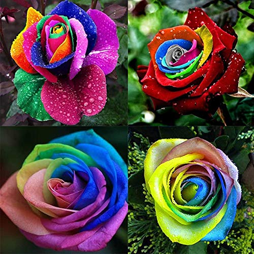 100 Stück Regenbogen Rose Bunte Blumensamen Bonsai Yard Home Garden Decoration Plant
