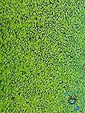 Topbilliger Pflanze Wasserlinsen/Teichlinsen 3X 125 ml je ca. 1000...