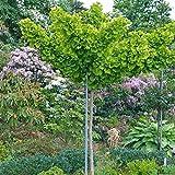 Ginkgo biloba Mariken Fächerblattbaum in verschiedenen Größen auf Stamm (Stammhöhe 80 cm)