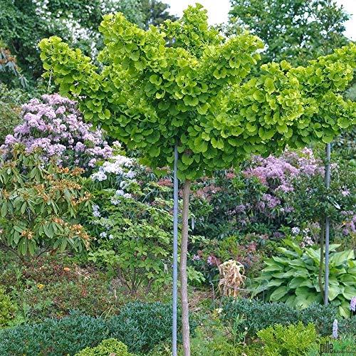 Ginkgo biloba Mariken Fächerblattbaum in verschiedenen Größen auf Stamm (Stammhöhe 60 cm)