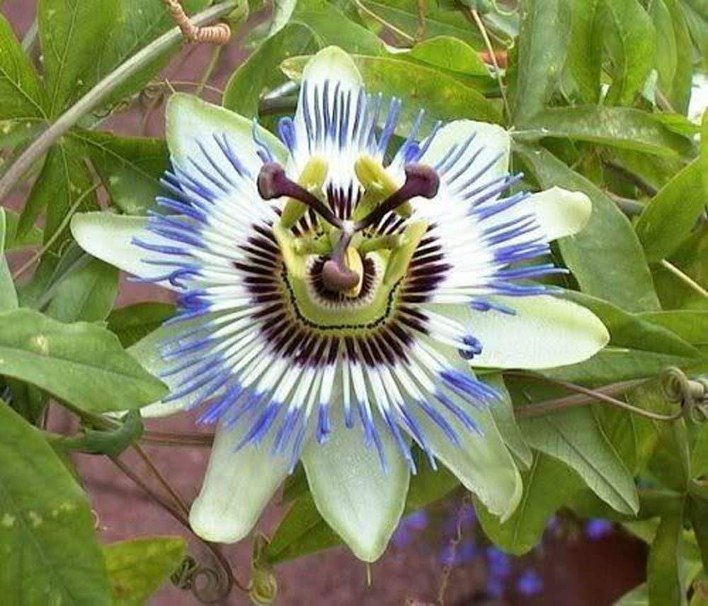 25+ Seeds Purple Passion Fruit Flowers Pas Max 82% OFF Blue Crown Vine Max 56% OFF