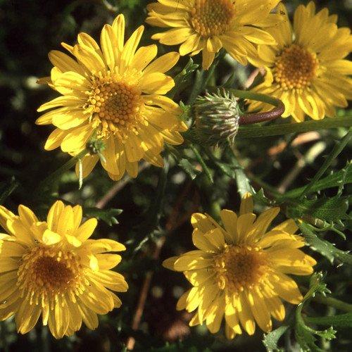 Plant World Seeds - Haplopappus Rehderi Seeds
