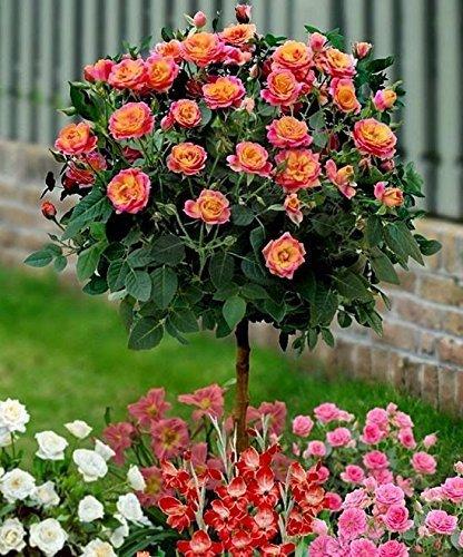 Rose Orange Arbre Graines, Rare Couleur, Magnifique, Pleasant-smelling parfumée