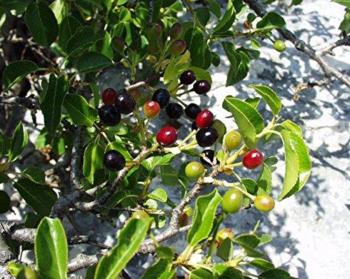 Steinweichsel, Felsen- oder Weichselkirsche (Prunus mahaleb) 30 Samen