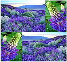 WILD Perennial LUPINE Flower Seeds - Lupinus perennis - Sweet-pea-like flowers - Zones 3-9 (00080 Seeds - 80 Seeds - Pkt. Size)