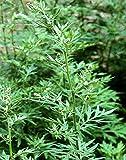 Beifuß - Artemisia vulgaris - 1000 Samen