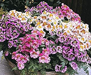 Lumos80 Butterfly Orchid Seeds, Farm Mix, Poor Mans Orchid, Heirloom Flower Seeds, 75ct