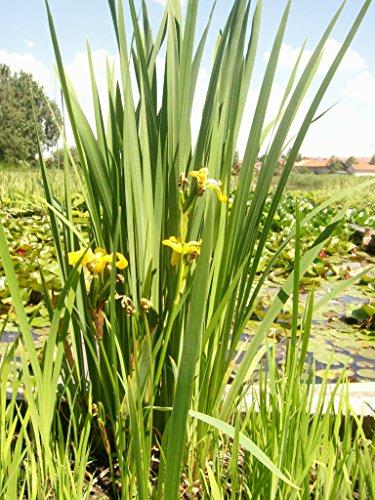 Mühlan - 6 Töpfe (mindestens 4 Sorten) Teichpflanzen für den Gartenteich, ideal zur Bepflanzung der Ufer- und Sumpfzone