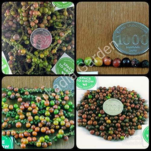 PLAT FIRM GERMINATIONSAMEN: 100 Seeds: Erbstück 100 Seeds Black Pepper Piper Nigrum L. Pflanzensamen aus Indonesien
