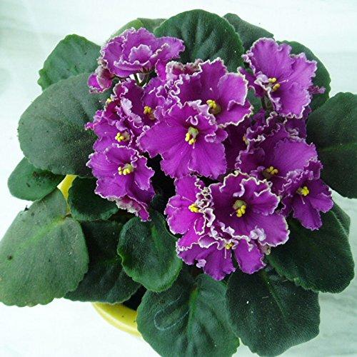50seeds / sac toutes sortes de couleur violette graine plante verger, plante herbacée vivace graines Matthiola incana