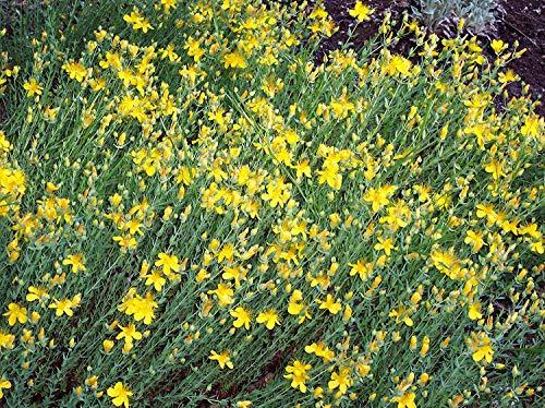 vegherb Frische 400 Seeds - Hypericum cerastoides Bodendecker Seed