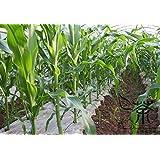 スーパーマーケットの穀物の種子400個、年次特別に植えるハッピーファーム甘い黒トウモロコシ種子、トウモロコシ(Zea mays)トウモロコシ種子