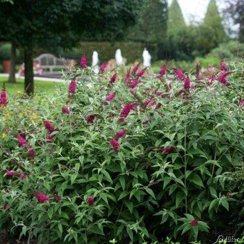 Zwerg-Schmetterlingsflieder Miss Ruby - Sommerflieder (Buddleja) Pflanze in rot, halbschattig und winterhart - Flieder-Strauch von Garten Schlüter