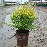Southern Living Plant Collection 3953Q 2.5 Qt - 'Sunshine' Ligustrum Quart, Live Evergreen Shrub with Bright Yellow Foliage