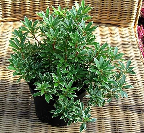 Pieris japonica 'Variegata' -...