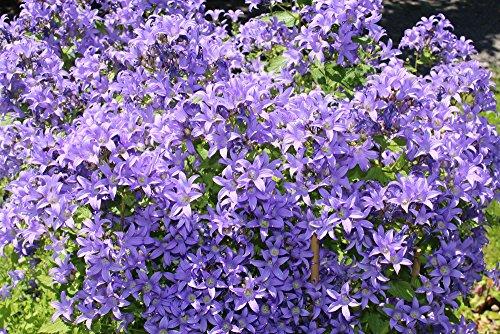Campanula lactiflora Blau 50 Samen - Riesen-Glockenblume