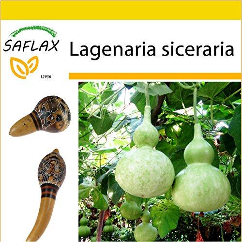 SAFLAX - Set de cultivo - Calabaza de peregrino - 15 semillas - Con mini-invernadero, sustrato de cultivo y 2 maceteros - Lagenaria siceraria