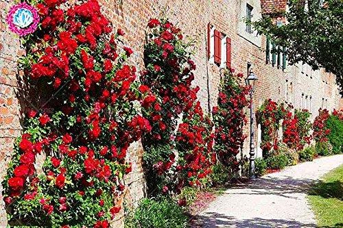 50 pcs escalade graines Rose Rouge japonaise. Rare graines Rose sementes. mur d'escalade de jardin floral vivace plante ornementale 1