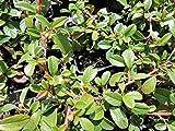 10 Stk. Cotoneaster dammeri 'Radicans' - (Kriechmispel 'Radicans'), Topfware 20-30 cm