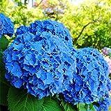 redapp 50pcs semi di fiori di ortensia blu piante da giardino bonsai semi rari in vaso piante di facile crescita multicolore fiore decorativo pianta blue