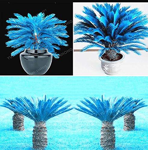 Portal Cool 10 Stück blaue Cycas Samen Sago Palmen Bonsai Blumentopfpflanze Hausgarten-S