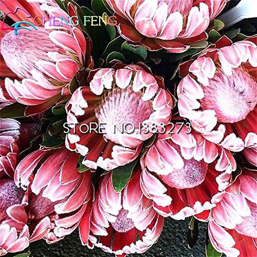 30 Graines Pcs Un sac Protea Diy Plantes en pot de fleur intérieure semences cadeau / Bonsai Outdoor Germination taux de 95% Couleurs mélangées semences