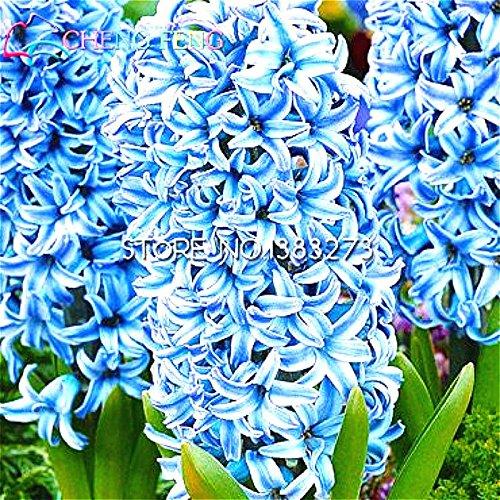 Nouvelles Graines Cheap jacinthe pot 100 Graines Bonsai Balcon Chambre Flower Seed Pour la décoration de jardin Rare Bonsai jacinthe d'eau des plantes