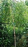 Trauerbirke Youngii Betula pendula Youngii, Containerware, 80-120 cm hoch