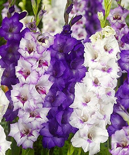 Gladiolus bulbs,Purple Mixture (15 Bulbs) Summer flowering, Perennial