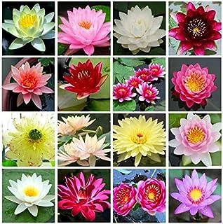 comprar comparacion Semillas de loto Bonsai Bowl, 30 piezas de semillas de plantas de flores de lirio de agua, patio ornamental, los mejores c...
