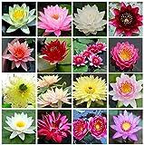 Semillas de loto Bonsai Bowl, 30 piezas de semillas de plantas de flores de lirio de agua, patio ornamental, los mejores colores mezclados viables, semillas de características