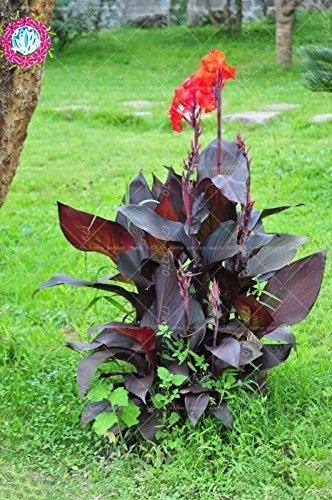 11. 11 Lot de 5 graines de bonsaï Canna indica - Plante tropicale vivace, d'extérieur - Grandes feuilles - Pour la maison, le jardin