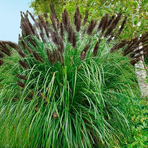 Soteer Garten - Selten Schwarzes Lampenputzergras Samen Ziergras Hasenschwanz-Gras Saatgut Grassamen winterhart mehrjährig für Garten Balkon/Terrasse