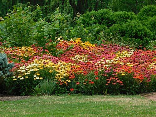 Sonnenhut 250 Samen, Rudbeckia Mischfarben und sorten