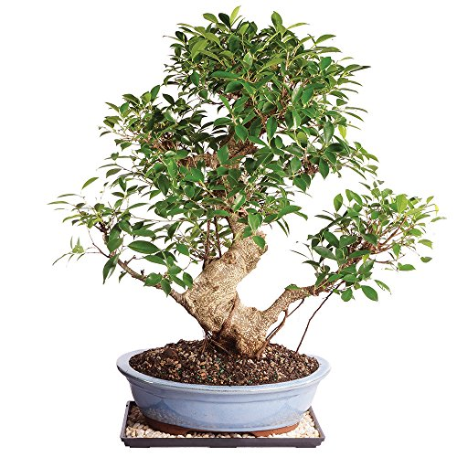 Brussel's Live Golden Gate Ficus Indoor Bonsai Tree - 17 Years Old; 16' to 20' Tall with Decorative Container, Humidity Tray & Deco Rock