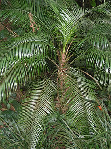 Lytocaryum weddellianum - Miniatur-Kokospalme - 5 Samen