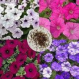 ypypiaol 800Pcs 4-Color Mixto Semillas De Petunia Flor Planta Jardín De Su Casa Balcón Al Aire Libre Decoración Bonsai Semillas de petunias