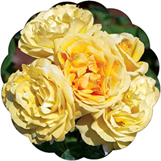 Stargazer Perennials Michelangelo Rose Plant Potted | Fragrant Yellow Rose Easy to Grow