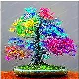SVI Fresh 20pcs Maple Baumsamen für Garten Mixed