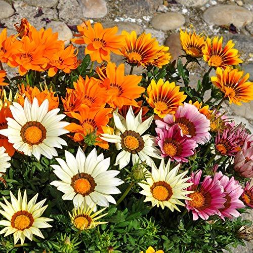 gazania Sunshine Mélange graines - gazania Rigens