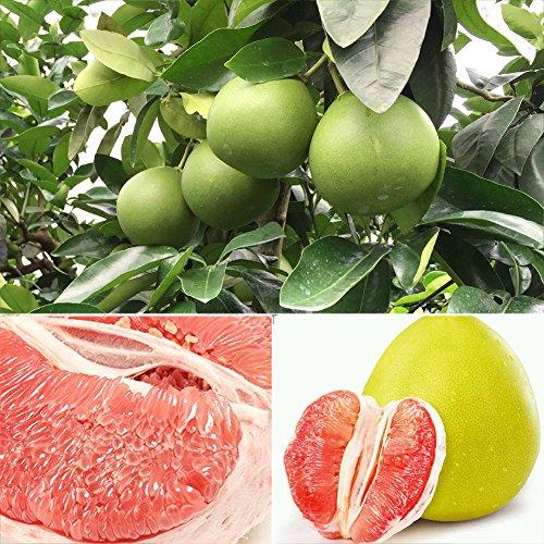 XQxiqi689sy 20 Stück Red Pompel Citrus Maxima Grapefruit Jabong Shaddock Obstbaum Pflanzensamen