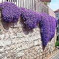 Elever 100Seeds Ground Cover Flower Garden Decoration Rock Cress Seeds