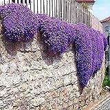 TOMASASeedhouse-100 piezas de berro rocoso plantas de...