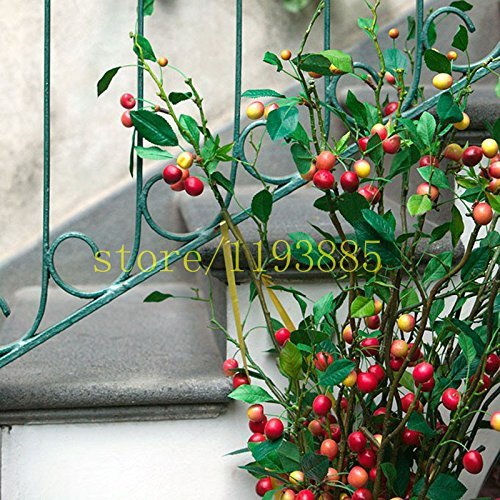 Grain de café Graines Balcon Bonsaï Graine de plantes 20 pcs graines de légumes pour la maison jardin plantation