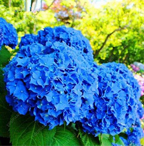 30 Pcs Hydrangea semences, hortensia bleu, Chine Hydrangea Graines de fleurs, bonsaïs graines pour jardin Plantes noir