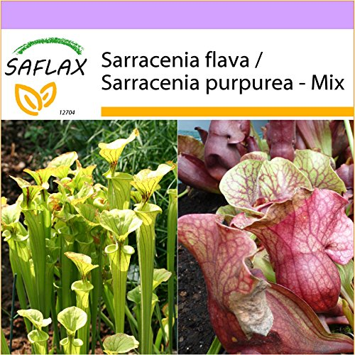 SAFLAX - Sarracénie pourpre - 10 graines - Sarracenia flava/S. purpurea - Mix