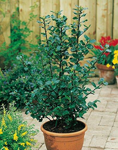Stechpalme Heckenstar - Ilex meservae - immergrün männlich schnittverträglich 40-60cm - Befruchter der Heckenfee - Hecken-Pflanze von Garten Schlüter - Pflanzen in Top Qualität