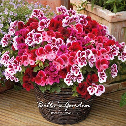 5pcs mezcla genuina-colores Pot geranio Semillas de la flor del geranio Pelargonium...