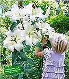 BALDUR Garten Tree-Lily Pretty Woman 3 Zwiebeln Baumlilien Lilium Hybride Lilien Zwiebeln winterhart duftend